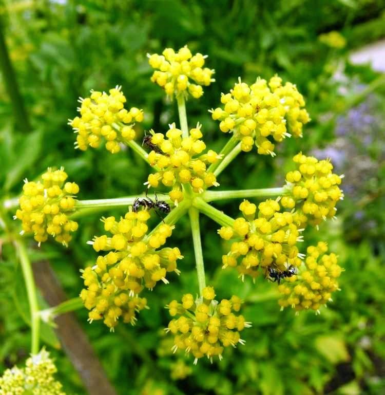 Biljka Vegeta ili Selen (Levisticum