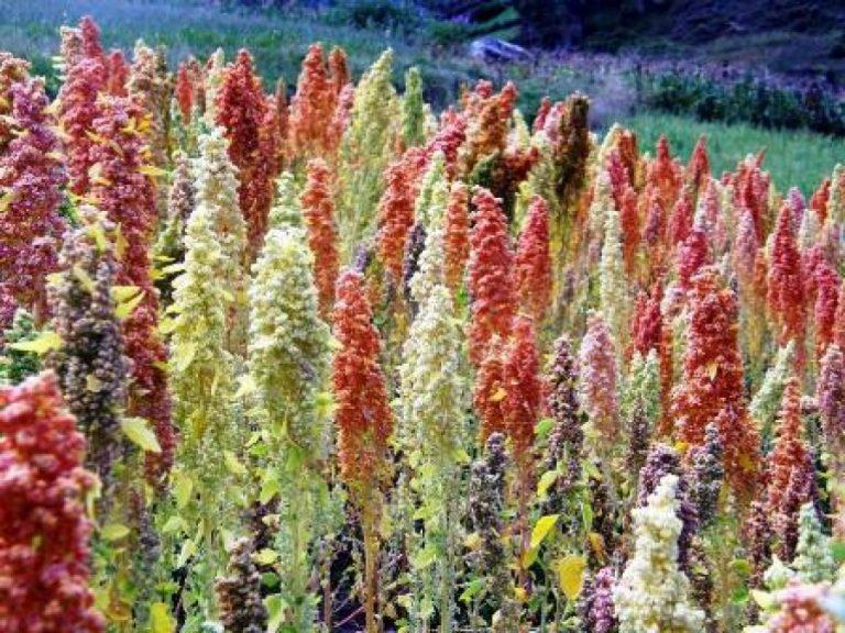 Kvinoja Quinoa