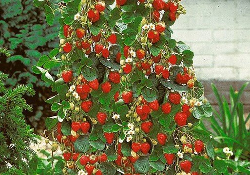 jagode penjačice